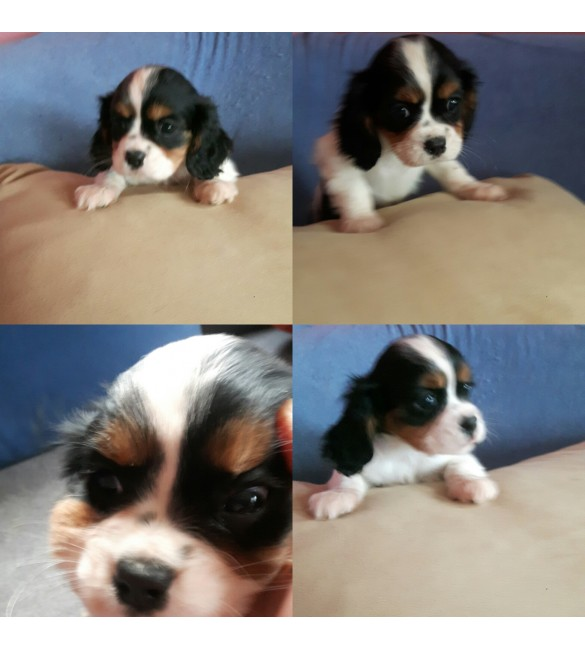 Cavalier King Charles three colors puppy