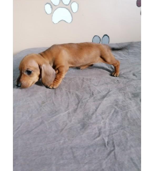 Daschund (sosis) Puppy